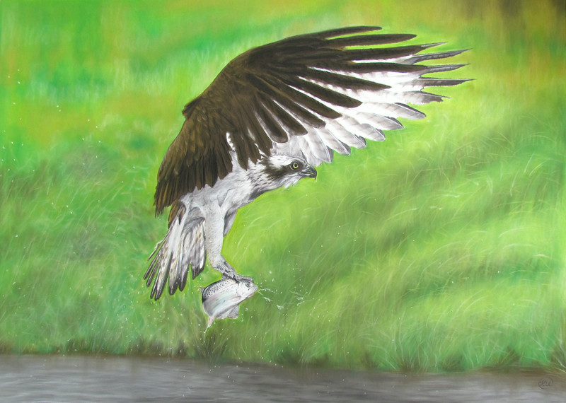 Osprey,It is a painting of one of my pictures from a Budding Student Karen.http://www.karenurquhart.co.uk.