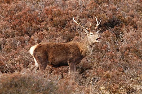Stag Red Deer.