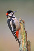 Male GT.SP. Woodpecker. John Chapman.
