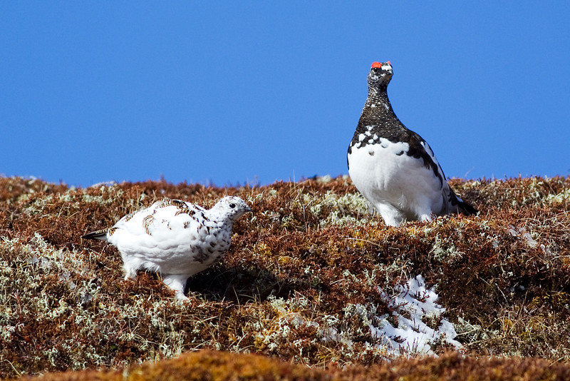 Female and Male Ptarmigan. Accepted in the Local Newspaper. John Chapman.