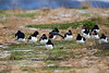 A Group of Oystercatchers on Migration. John Chapman.