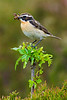 Male Whinchat. RPS Bronze Winner  2004 Nature. John Chapman.