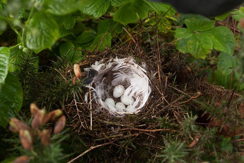 Greenfinch. Nest and Eggs. John Chapman.