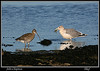 Curlew with a thief the Herring gull.