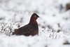 Female Red Grouse in Snow. Accepted in the Local News Paper. John Chapman.