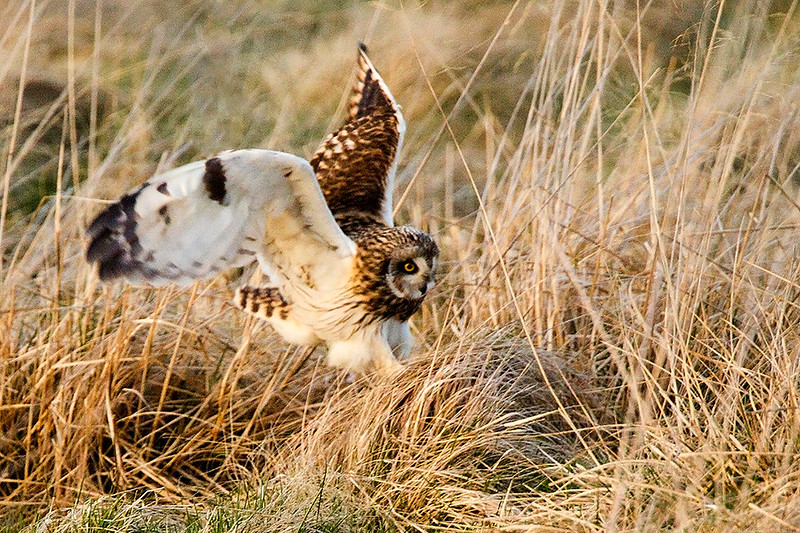 S E Owl going in for a Vole. John Chapman.