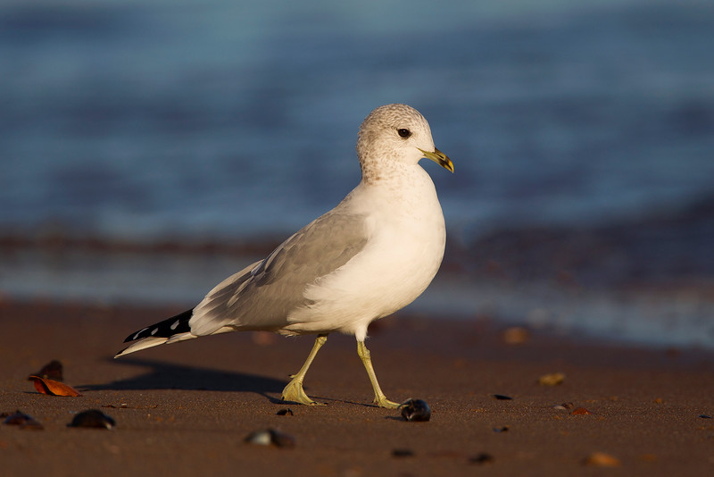 Common Gull in second Winter Plumage. John Chapman.