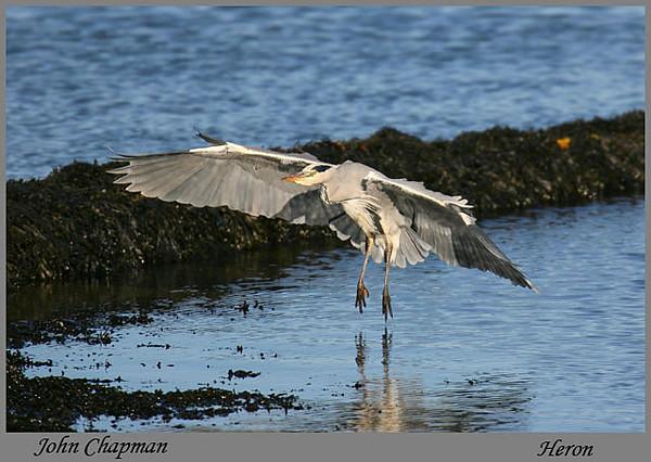 Heron. John Chapman.