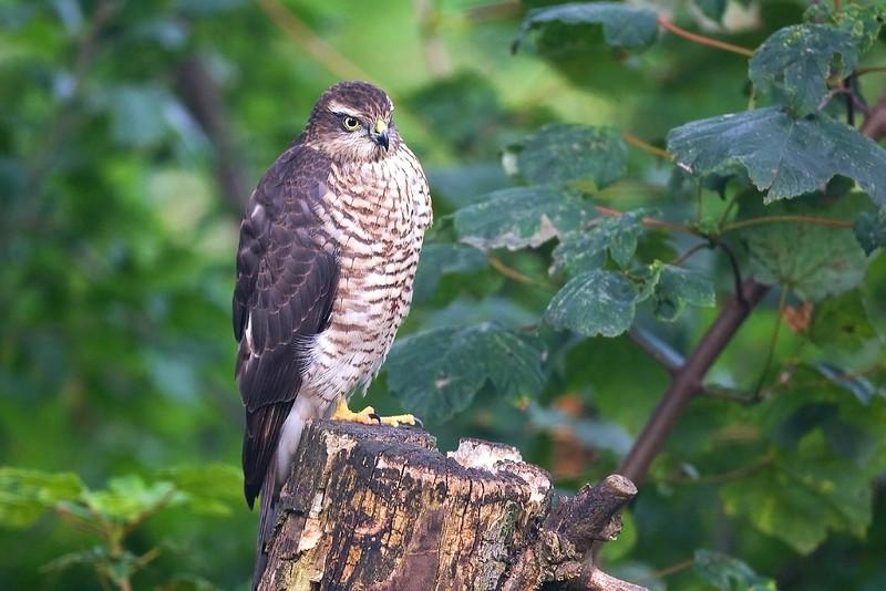 Juv. Sparrowhawk. John Chapman.