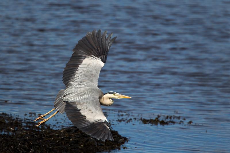 Heron in Flight. John Chapman.