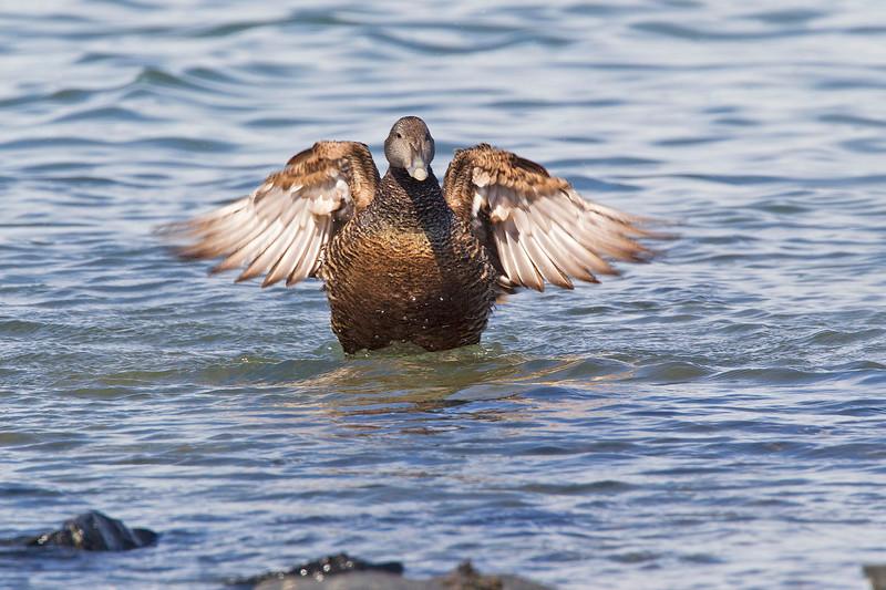 Female Eider Duck.. John Chapman.