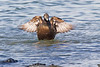 Female Eider Duck.. John Chapman.