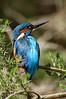 Kingfisher. John Chapman.