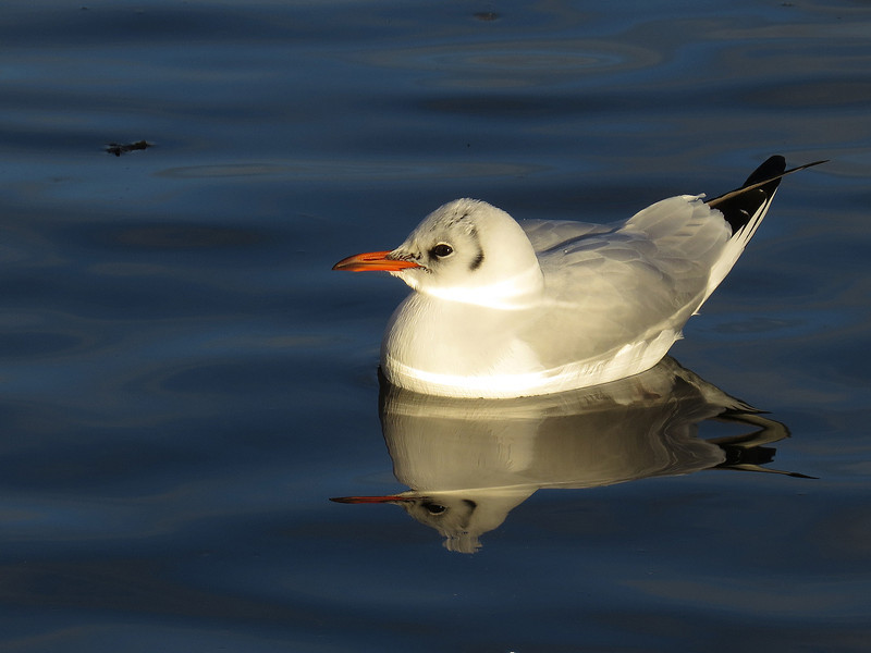 Taken with my new lightweight Toy. SX50 HS Canon Camera..  Winter Plumage Black Headed Gull. John Chapman.