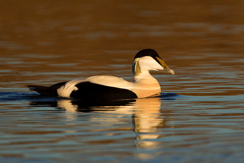 Male Eider Duck. Published in the Local Newspaper. John Chapman.
