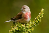 Male Linnet. Accepted in the Local Newspaper. John Chapman.