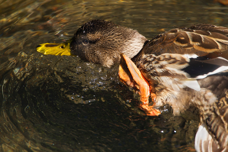 Female Mallard Duck grooming. John Chapman.