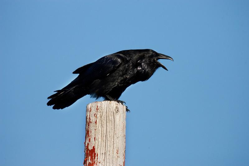 Raven.John Chapman.