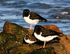Oystercatchers and a Turnstone.