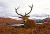 Red Deer resting.