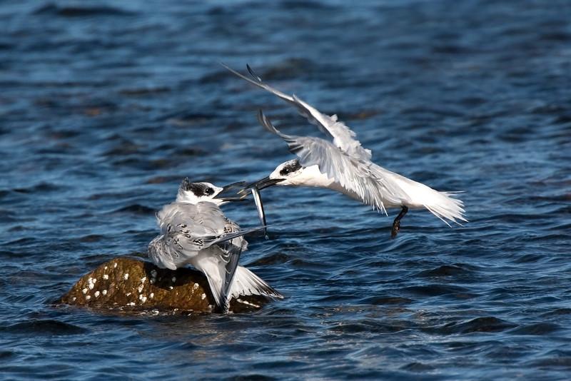 Sandwich Tern feeding a chick. John Chapman.