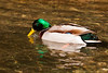 Male Mallard Duck. John Chapman.
