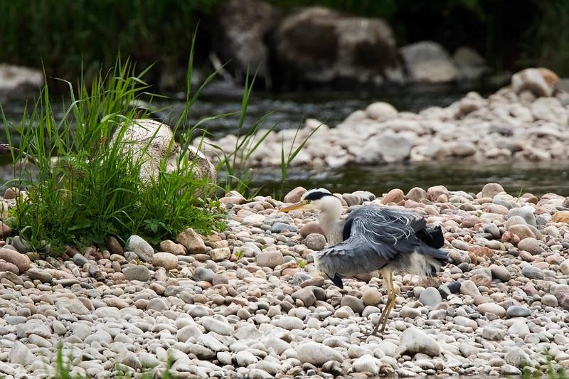Grey Heron. John Chapman.