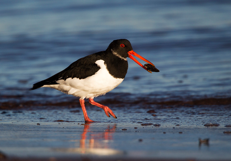 Oystercatcher with a Mussel John Chapman.