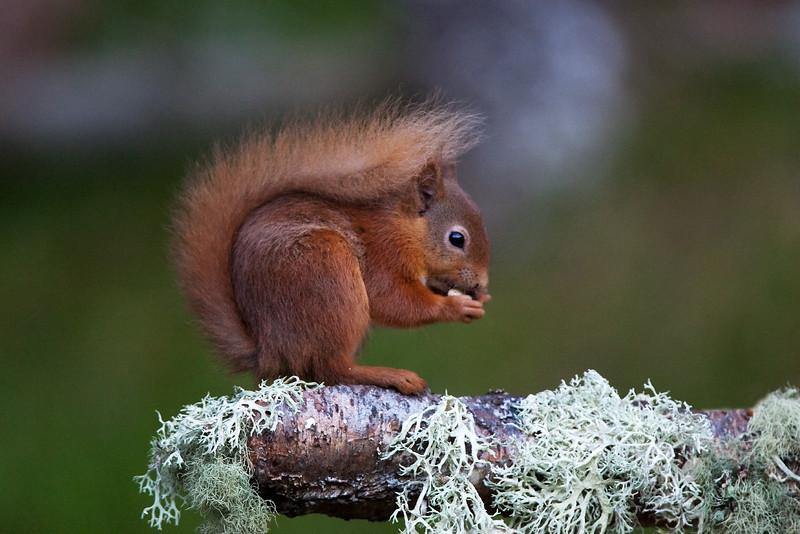 Red Squirrel. John Chapman.