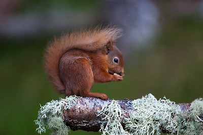 Red Squirrel. John Chapman.