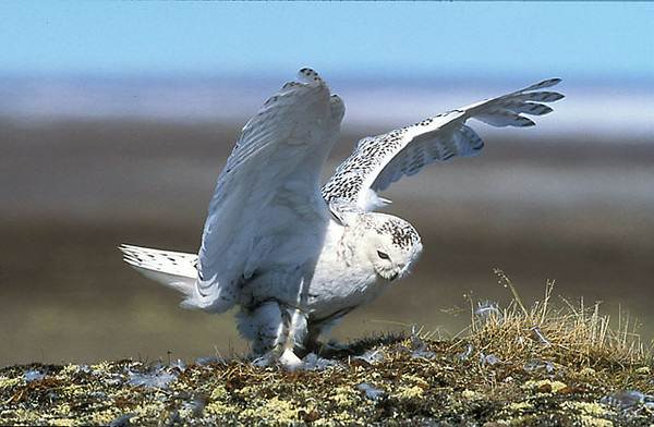 Snowy Owl at Nest. John Chapman.