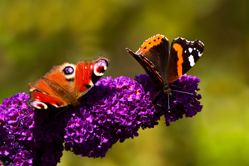Male Peacock Butterfly and a Red Admiral Butterfly. John Chapman.