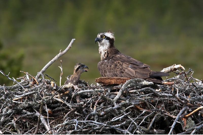 Osprey with Chick. John Chapman.