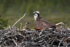 Osprey with Chick. John Chapman.