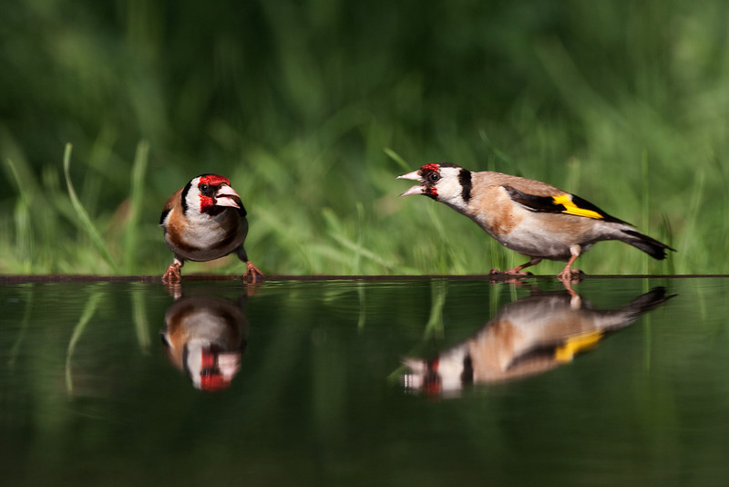 Goldfinches fighting. John Chapman.