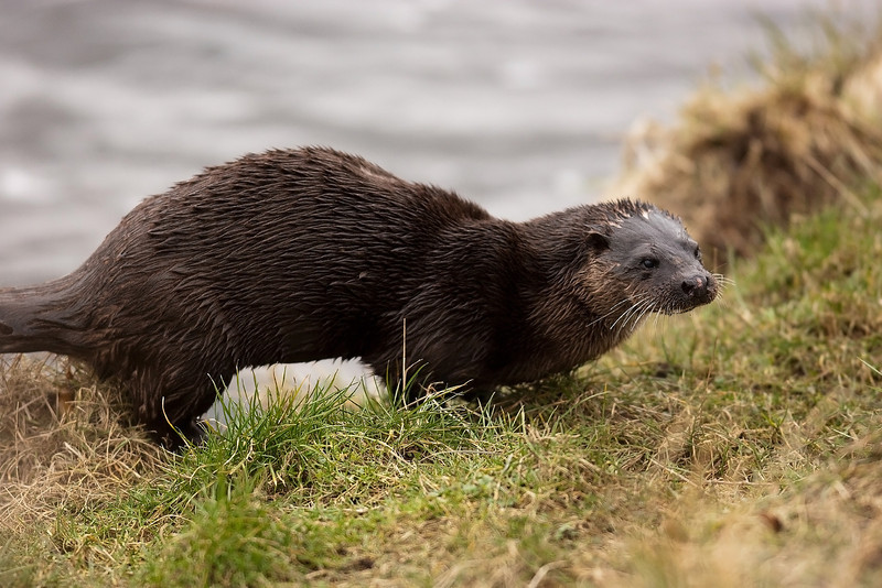 Otter, The Pic was taken in Aberdeen City 2 days ago. The animal was swimming along catching fish and it decided to come out of the water and pose for me to take it's picture. I feel so lucky.