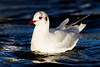 Winter Plumage B. H. Gull. John Chapman.
