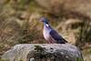 Wood Pigeon. Glen Muick. John Chapman.