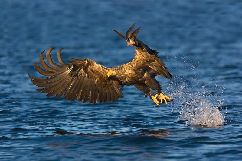 White Tail Sea Eagle with Fish.