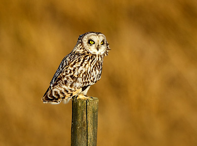 Short-Eared Owl. Evening Light. John Chapman.