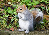 Grey Squirrel. John Chapman.