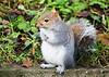 Grey Squirrel. John Chapman.