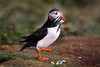 Puffin with Sand Eels. John Chapman.