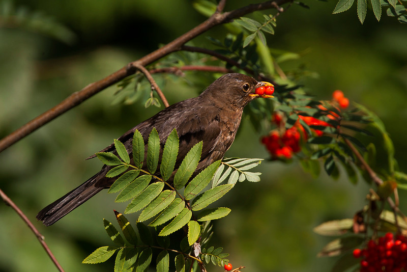Female Blackbird eating Rowan berries. Published in the Local Newspaper.John Chapman.