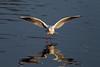 Winter Plumage. B. H. Gull. John Chapman.