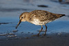 Juv. Dunlin with food. Aberdeen. John Chapman.