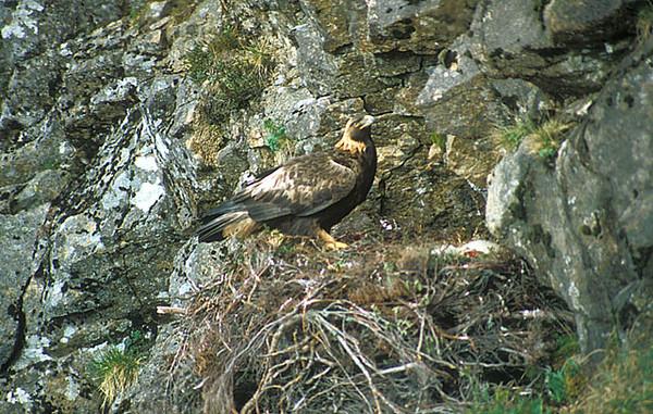 Golden Eagle. John Chapman.