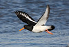 European Oystercatcher.