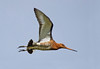 Black Tail Godwit. Published in The Breeding Birds Of North East Scotland.  John Chapman