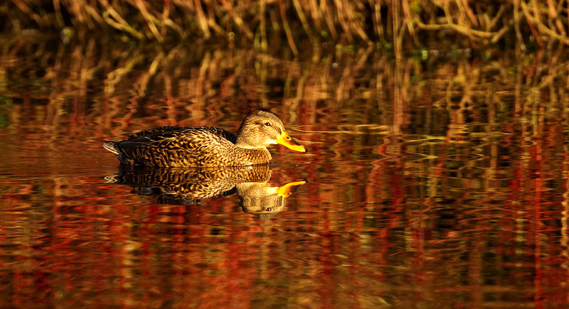 Female Mallard Duck in Reflection. Accepted in the Local Newspaper.
